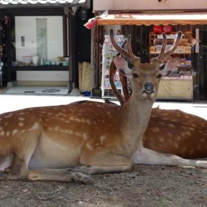Sika_Deer_Nara