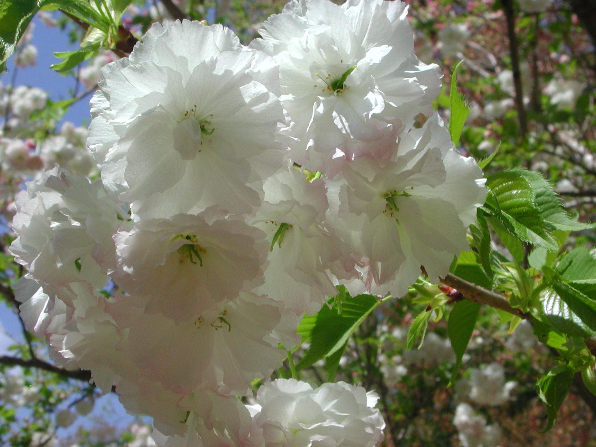 Hanami 2011: Variedades de cerezos en Flor. | Nekotabi